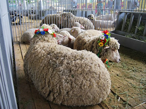 agro-2018_sheep